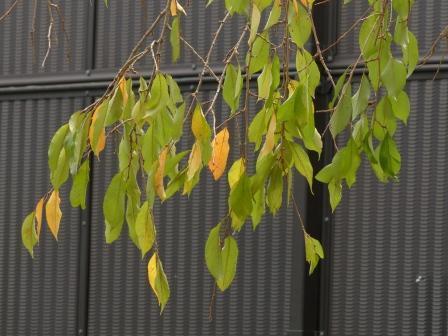 少し紅葉した 枝垂れ桜 2