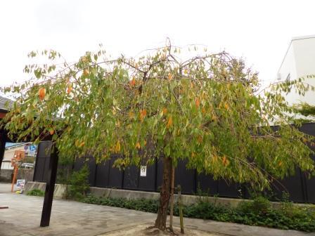 少し紅葉した 枝垂れ桜 1