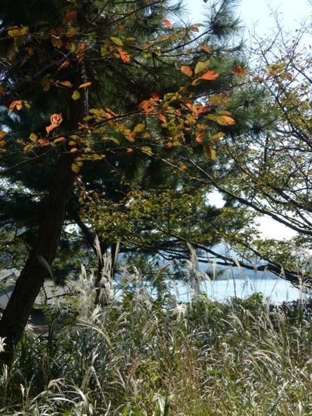 梅津寺駅周辺 桜の紅葉 & ススキ