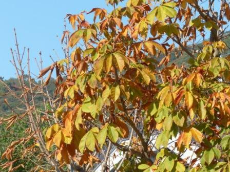 梅津寺駅周辺 梅津寺公園 ホオノキの黄葉