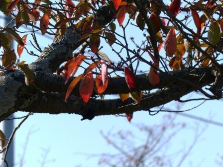 梅津寺駅周辺 梅津寺公園 桜の紅葉