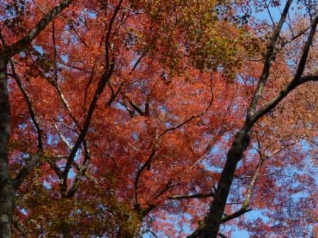 稲荷山公園 樹齢200年以上のモミジの紅葉 1