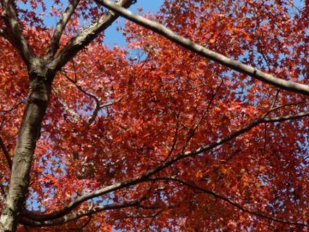 稲荷山公園 樹齢200年以上のモミジの紅葉 2