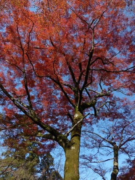 稲荷山公園 樹齢200年以上のモミジの紅葉 3