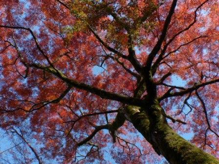 稲荷山公園 樹齢200年以上のモミジの紅葉 4