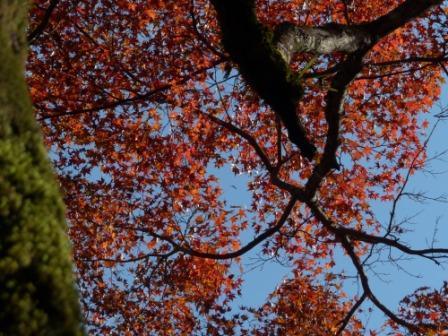稲荷山公園 樹齢200年以上のモミジの紅葉 5