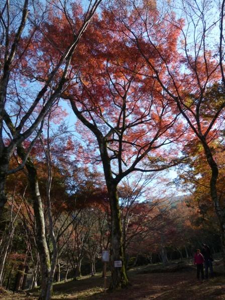 稲荷山公園 樹齢200年以上のモミジの紅葉 6