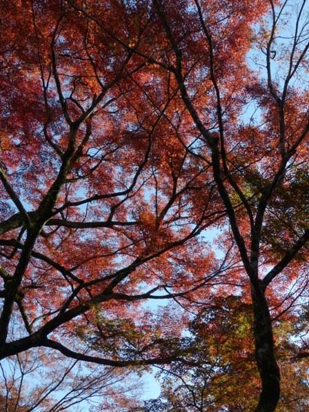 稲荷山公園 樹齢200年以上のモミジの紅葉 7