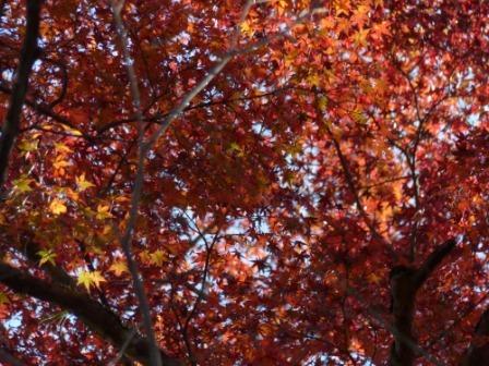 稲荷山公園 樹齢200年以上のモミジの紅葉 8