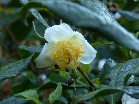 チャノキの花 ? 2