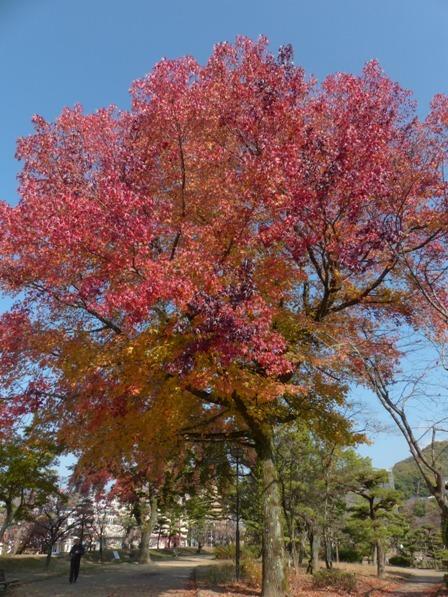 道後公園 モミジバフウの紅葉 1