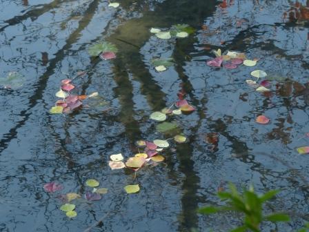 道後公園 ナンキンハゼの落ち葉