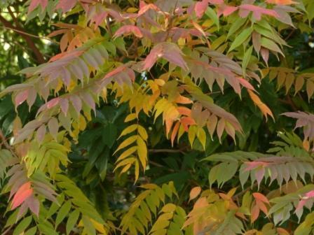 道後公園 ハゼノキの紅葉