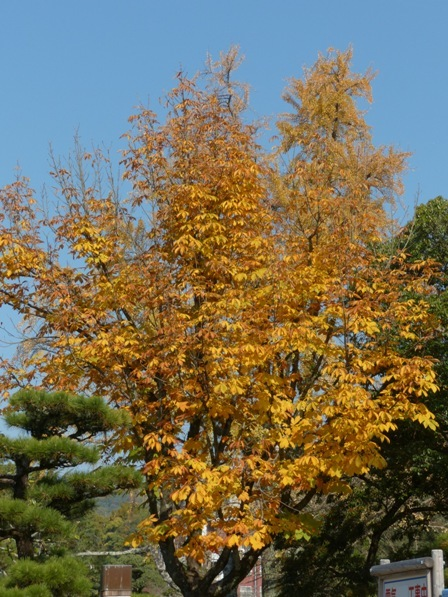 道後公園 トチノキの黄葉 1
