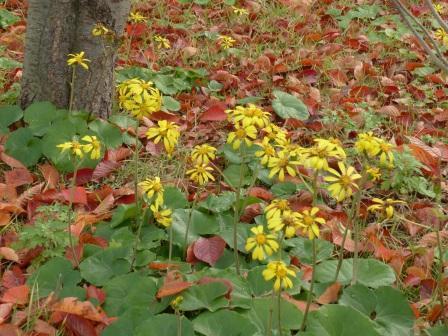 ツワブキの花 1