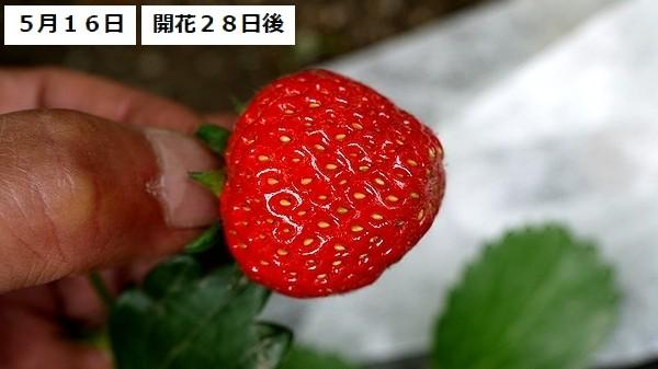 イチゴ10new