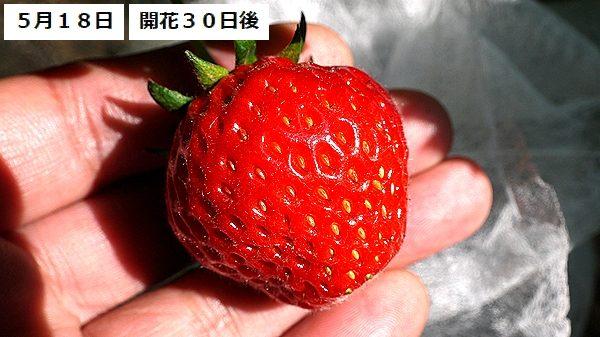 イチゴ11new