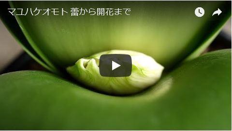 マユハケ動画
