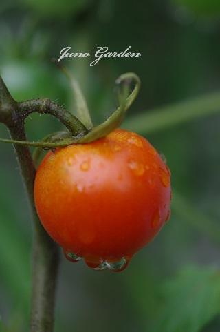 トマト171007