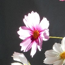 ピンクのコスモス.