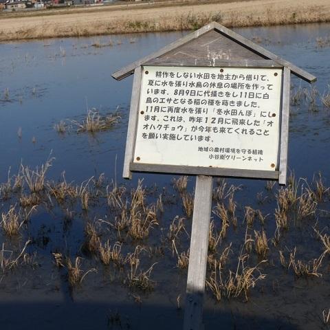 冬水田んぼ