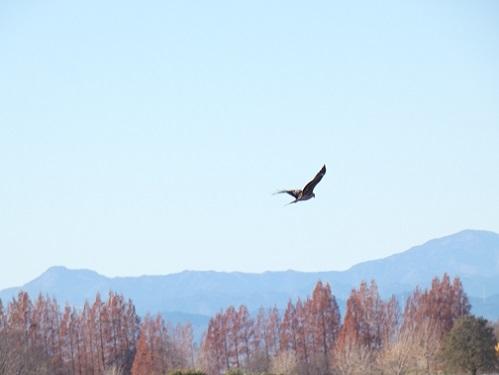 2-2オオタカの飛翔