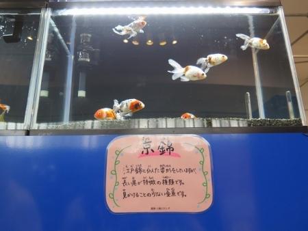 なかがわ水遊園 金魚展 京錦