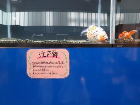 なかがわ水遊園 金魚展 江戸錦