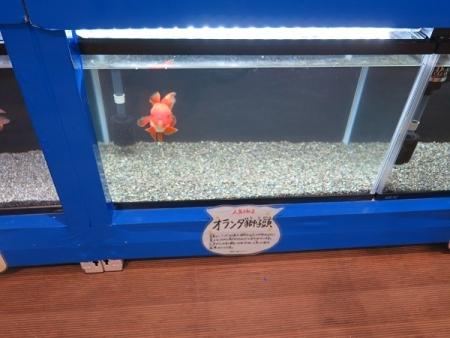 なかがわ水遊園 金魚展 オランダ獅子頭