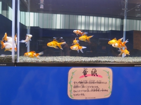 なかがわ水遊園 金魚展 竜眼