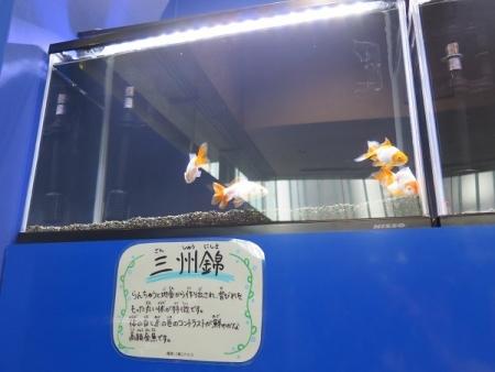 なかがわ水遊園 金魚展 三州錦