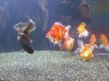 なかがわ水遊園 金魚展 琉金 オランダ獅子頭 出目金