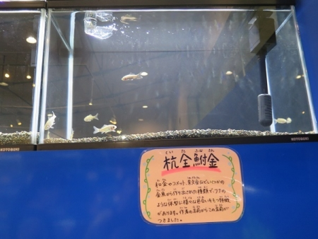 なかがわ水遊園 金魚展 杭全鮒金(くいたふなきん)