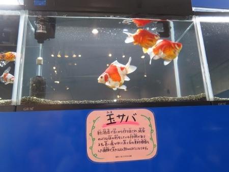 なかがわ水遊園 金魚展 玉サバ