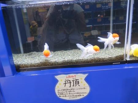 なかがわ水遊園 金魚展 丹頂