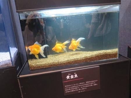 なかがわ水遊園 金魚展 黄金魚(きんぎょ)