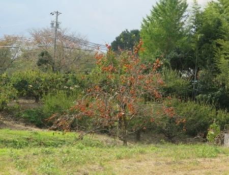 浜松市 柿
