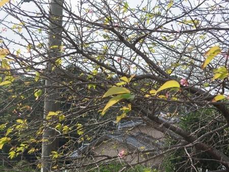 浜松市 桜