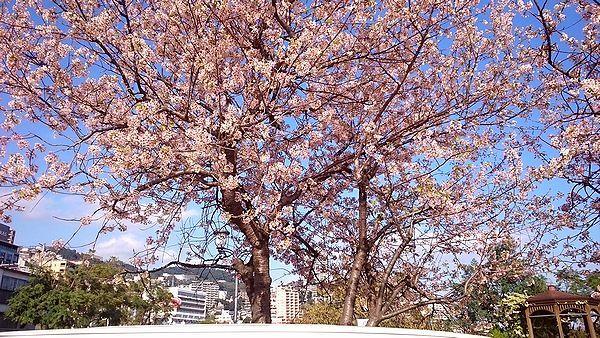 熱海ヒマラヤ桜1