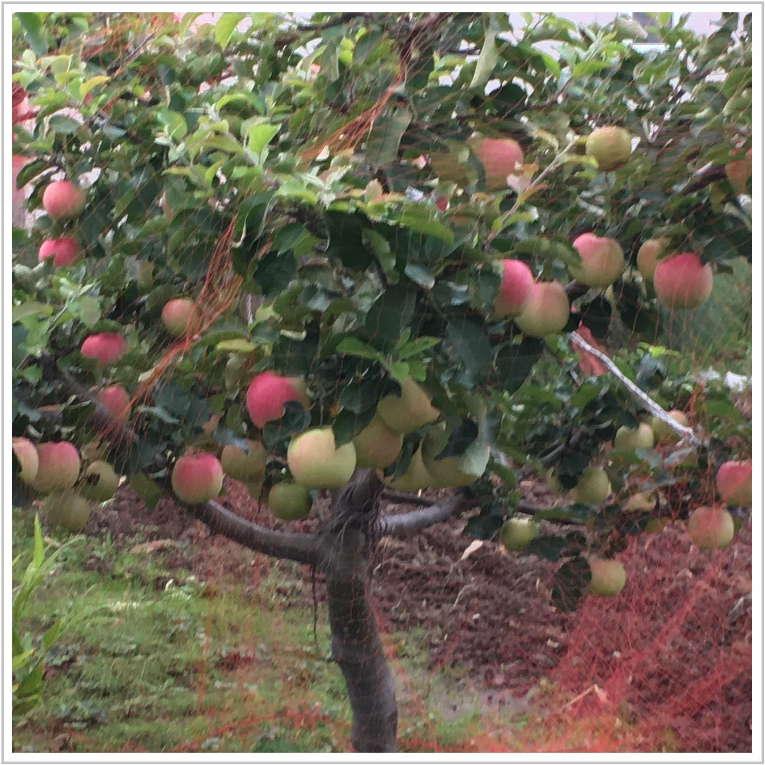 apple_1_1003.jpg