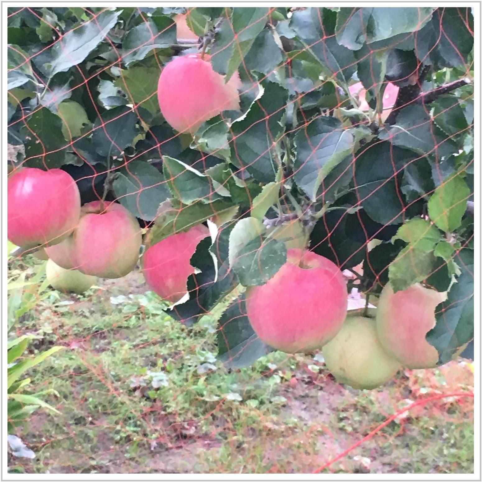 apple_3_1003.jpg