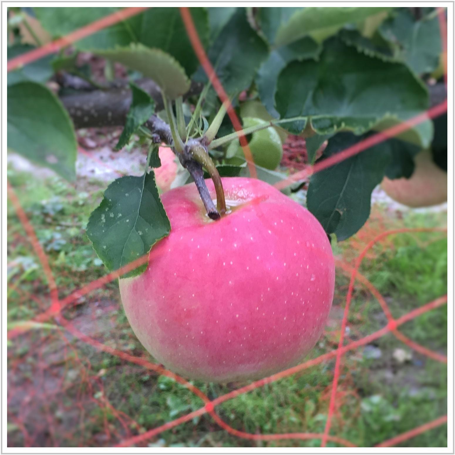 apple_4_1003.jpg