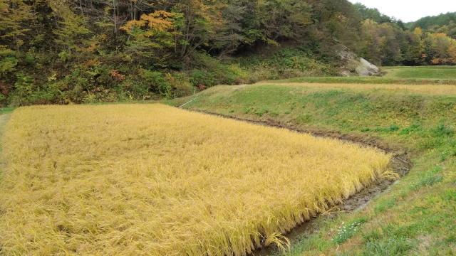 稲刈り前1029