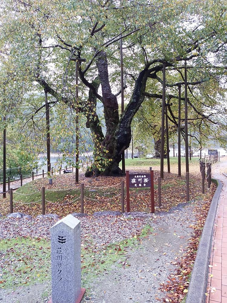 秋の荘川桜 風景6