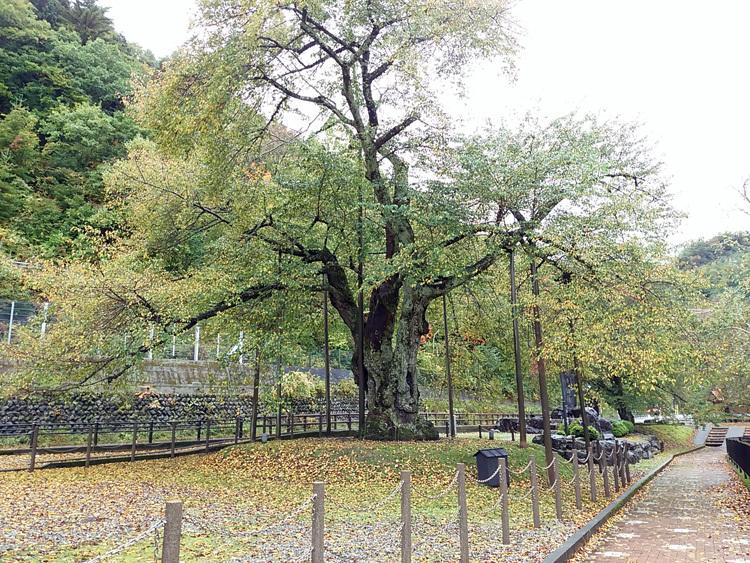 秋の荘川桜 風景12