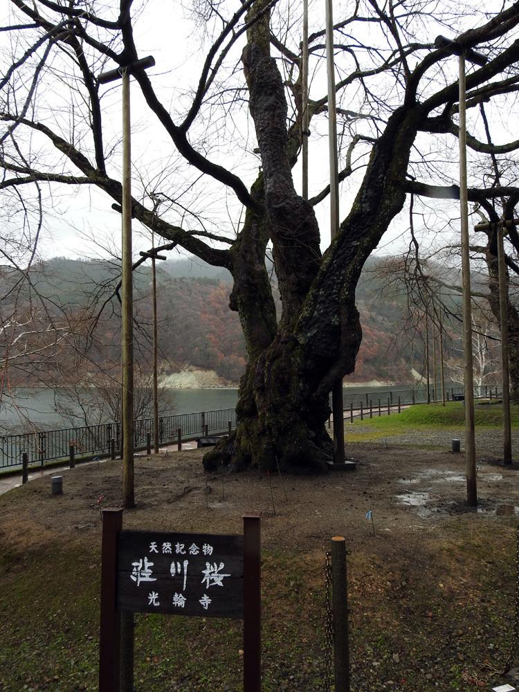 雪害から守る雪吊り 荘川桜3
