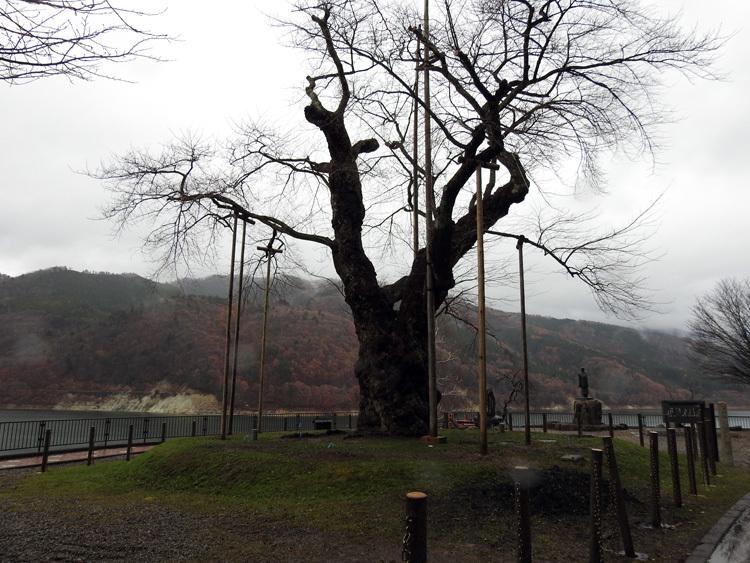 雪害から守る雪吊り 荘川桜4
