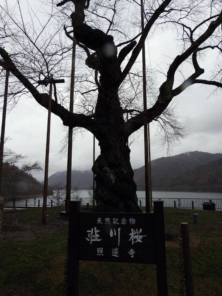 雪害から守る雪吊り 荘川桜5
