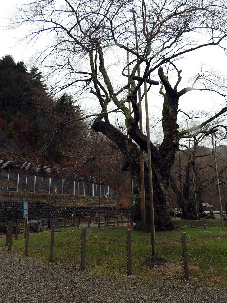 雪害から守る雪吊り 荘川桜7