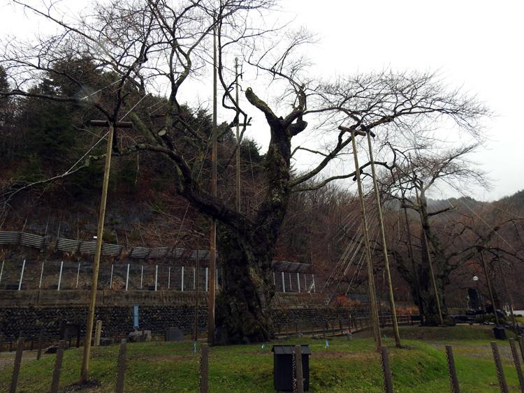 雪害から守る雪吊り 荘川桜8